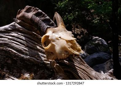 A European Ibex skull and horn in Samaria Gorge, Crete