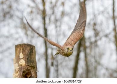 European Kestrel (Falco tinnunculus) flying from tree stump, United Kingdom