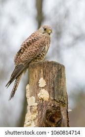 European Kestrel (Falco tinnunculus) perched on tree stump, United Kingdom