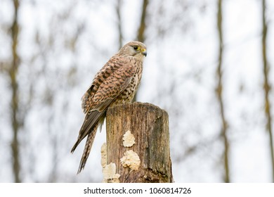 European Kestrel (Falco tinnunculus) perched on tree stump, United Kingdom