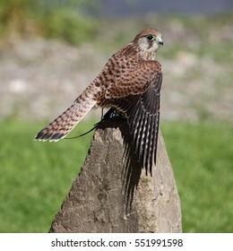 European Kestrel, also known as Eurasian Kestrel or Common Kestrel, perched on a rock with its wings spread looking towards the camera
