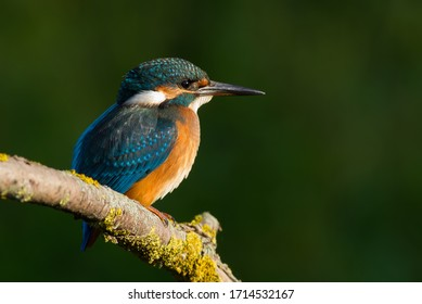 Сommon European kingfisher, Alcedo atthis. A young bird sits on an old beautiful dry branch