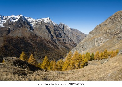 European larch (Larix decidua). Alpine landscape, mountain environment, autumn on Alps, in habitat portrait. Gran Paradiso National Park, Val d'Aosta. Italy.