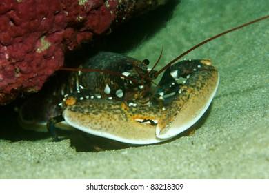 European lobster (Homarus gammarus) in a cave in Sesimbra, Portugal