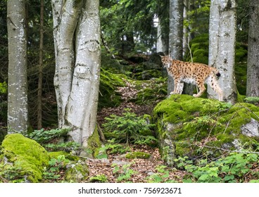 European Lynx on a moss covered rock in the bavarian forrest