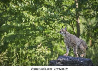 A european lynx on a rock