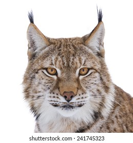 European lynx portrait on white