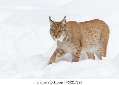 European Lynx in Winter, Lynx lynx, Bavarian Forest National Park, Germany, Europe