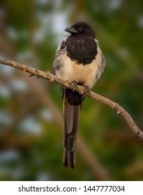 European Magpie, or Common Magpie (Pica pica) - Denver, Colorado
