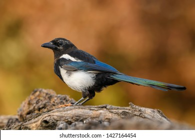 European Magpie - Pica pica, common black and white perching bird from European gardens and forests, Hortobagy National Park, Hungary.