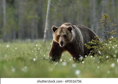 European male brown bear walking in taiga in Finland