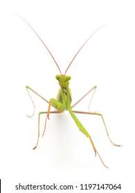 European mantis or praying mantis isolated on white background.