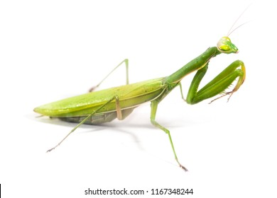 European Mantis or Praying Mantis, Mantis religiosa