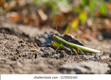 European mantis. Praying mantis (Mantis religiosa)