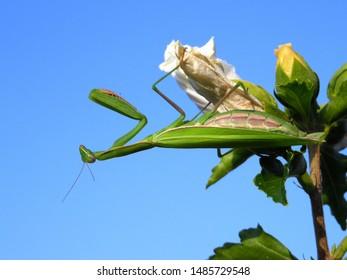 European mantis - Praying mantis - Mantis religiosa