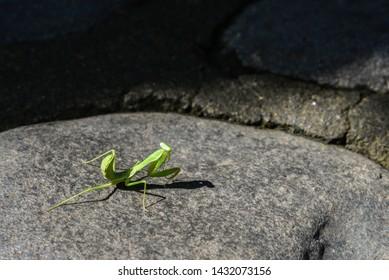 European Mantis or Praying Mantis, Mantis Religiosa. Green praying mantis closeup