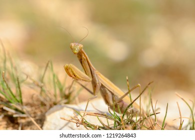 The European mantis, praying mantis or Mantis religiosa is a large hemimetabolic insect in the family of the Mantidae (mantids), which is the largest family of the order Mantodea (mantises).