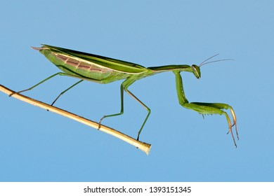 The European mantis (Mantis religiosa) is a large hemimetabolic insect in the family of the Mantidae ('mantids'), which is the largest family of the order Mantodea (mantises).
