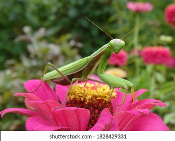 The European mantis (Mantis religiosa) on pink zinnia flower with blurred background.