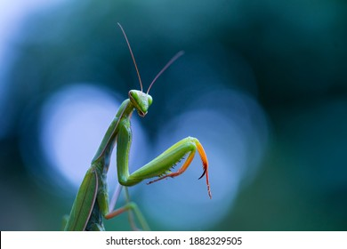 European mantis (Mantis religiosa) or praying mantis insect of Arthropoda family in Cantabria Autonomous Community of Spain, Europe