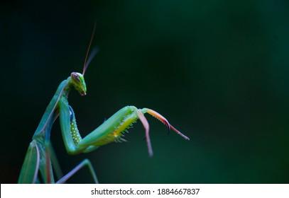 European mantis (Mantis religiosa) or praying mantis insect of Arthropoda family in Cantabria Autonomous Community of Spain, Europe
