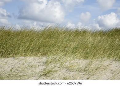 European marram grass in the dunes along the Dutch coast