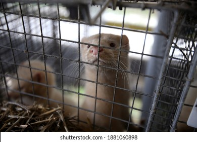 European mink cage grown on a farm for fur. Lithuania