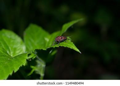 European Minstrel Bug or Italian Striped shield bug (Graphosoma lineatum) isolated on the leaf.