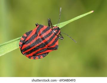 European Minstrel Bug or Italian Striped shield bug (Graphosoma lineatum) climbing a blad of grass.