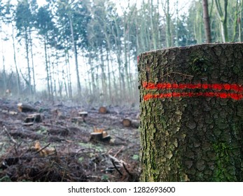 European mixed Forest with numerous cut down trees, One Trunk in Foreground