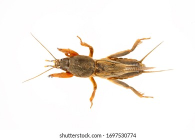 European mole cricket isolated on a white background. Large insect.