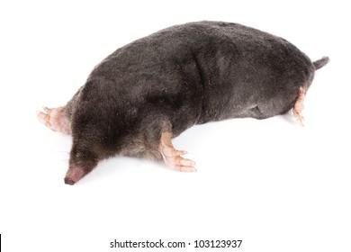 The European mole on a white background, separately