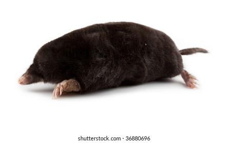 The European mole on a white background, separately.