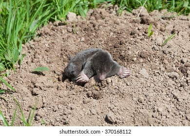 European mole, Talpa europaea, emerging from a molehill viewed above ground, a common garden pest, with copy space