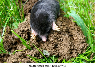 European mole (Talpa europaea) is a mammal of the order Eulipotyphla. It is also known as the common mole and the northern mole.