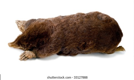 European mole Talpa europaeam on a white background