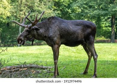 European Moose, Alces alces, also known as the elk. Wild life animal.