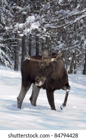 European moose (Alces alces), known in Europe as elk and in North America as moose, walking in the snow. It causes some road accident.