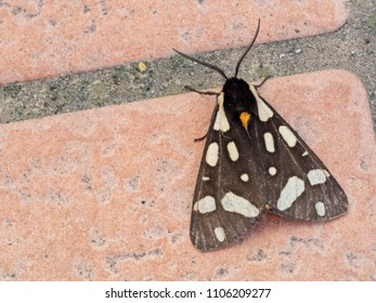 European moth. Arctia villica, Cream spot tiger moth.