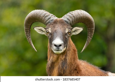 European mouflon (Ovis aries musimon) standing in the grass in the forest. Beautiful brown furry mouflon with horns in its environment with soft background. Wildlife scene from nature. Czech Republic