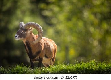 European mouflon (Ovis orientalis musimon)