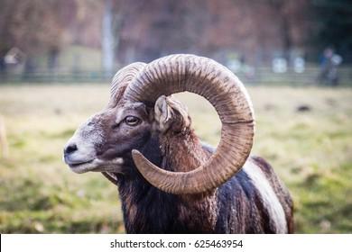 European Mouflons