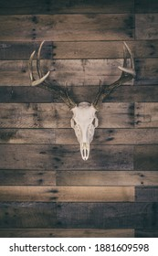 A european mounted white buck skull mounted on a vintage barn wood wall.