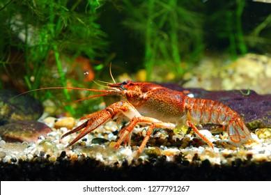European Narrow-clawed crayfish Astacus leptodactylus in natural habitat