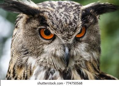 European oehoe owl
