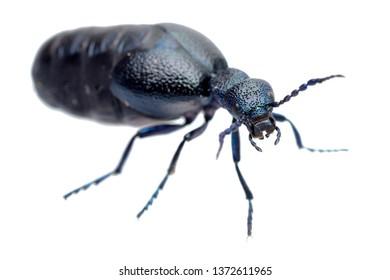 European oil beetle (Meloe proscarabeus) isolated on white.