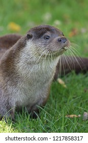 European otter cropped to side, sitting on green grass looking diagonally front right