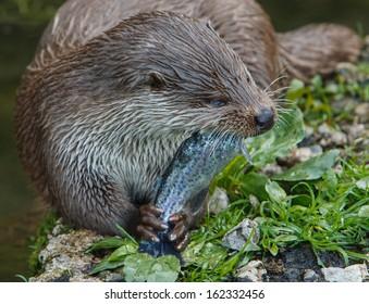 European otter eating fish