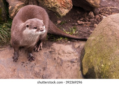 A European otter (Lutra lutra) stands on a rock in the top left of the frame and looks to the bottom right. There are wet paw prints in front of it.