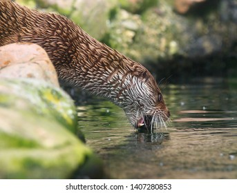 The European Otter - Lutra lutra swimming and hunting in Uhlava River. This animal is dangerous pest for fish farm and aquaculture. Wildlife in National Park Sumava. Czech Republic, Europe.